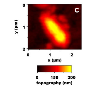 AFM zoom on the lowest bacterium localized on b).