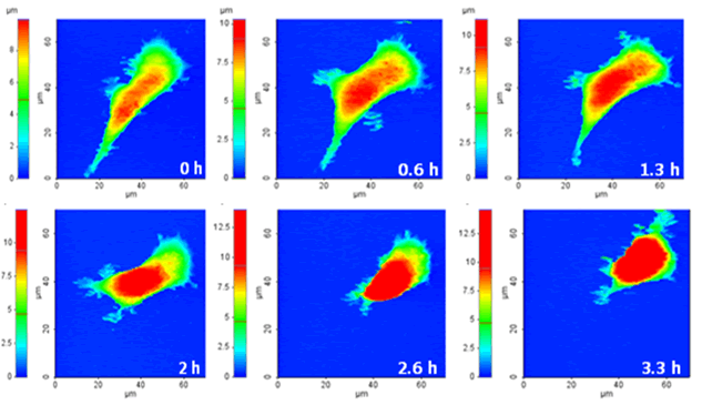 a) Sequential HEK 293T live cell images. It took approximately 0.6 hour to obtain each image and a total of 3.3 hours for 6 images. b) Volume change of HEK 293T: the initial cell volume was 5008 μm3; 2.6 hours later it shrank to 3645 μm3.