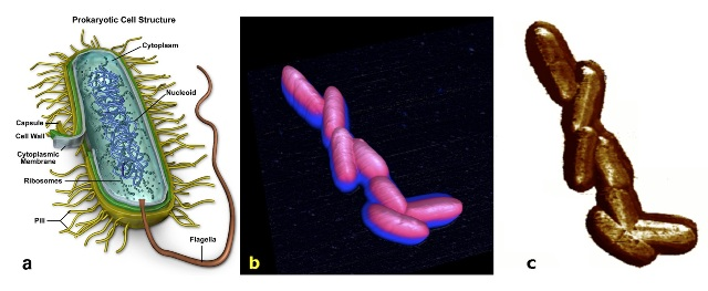 E. Coli K12 bacteria imaged by PeakForce QNM on a BioScope Catalyst AFM. In a, the structure of the strain is drawn. In b, an AFM 10x10µm 3D-height representation of a cluster of bacteria is shown. In c, Young's modulus channel (z-scale: 0-4GPa) is depicted. This is the first time that such bacteria has been imaged alive by AFM.