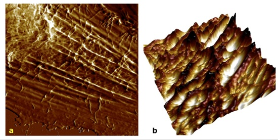 Images of living glioblastoma cells by PeakForce QNM and the BioScope Catalyst AFM. In a, 40x40µm height image recorded at a moderate force shows both topmost and internal structures. In b, 15x15µm 3D overlay of topography and deformation channels is shown. Bruker's BioScope Catalyst with Perfusing Stage Incubator offers the best balance of living cell imaging for long-term experiments.