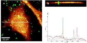 (a) Confocal Raman imaging of CNTs on a cell; (b) Depth scan along the white line indicated in Figure 2a; (c) Spectra used for generating the images in Figures 2a and 2b.
