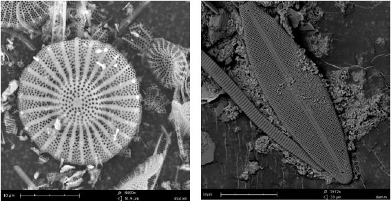 Diatoms generally range in size from approx. 2-200 pm which can make it difficult to recognize them using light microscopy. A desktop SEM is the perfect solution due to its higher magnification and depth of focus. Sample preparation is similar to that used with optical devices.