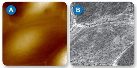 Topography (A) and corresponding modulus (B) images of living MDCK cells. Cell structures corresponding to actin fibers show higher modulus (lighter) while cell surface features, believed to be microvilli, appear softer (darker) than the cell membrane. Image size 32µm.