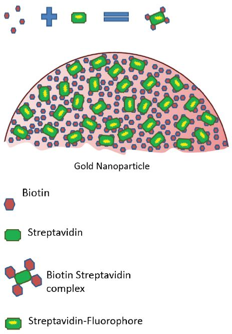 Graphic showing the formation of the strepatividn-biotin complex and it