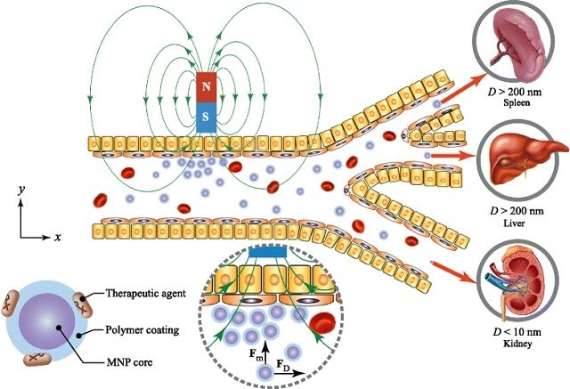 Drug-loaded carrier is typically composed of a magnetic core and a biocompatible coating material. The magnetic core was made from different materials such as Fe3O4, Fe2O3, or Fe. The coating materials are Au, PEG, or SiO2. Based on the biokinetics of particles, a drug carrier ranging from 10–200 nm in diameter is optimal for in vivo delivery, as the small particles (D<10 nm) escape by renal clearance and the large ones (D>200 nm) are sequestered by the reticuloendothelial system of the spleen and liver.