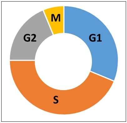 Phases of the cell cycle. G1 is the first growth phase. S is the synthesis phase. G2 is the second growth phase. M is the mitosis phase.