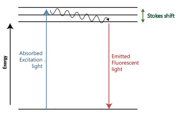 Absorption takes place at higher energy (shorter wavelength) than fluorescent emission at lower energy (longer wavelength).