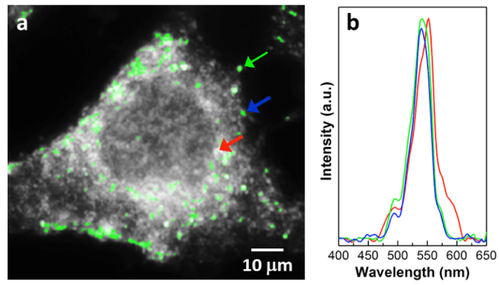 Magnnification of breast cancer cell (a) and spectra of GNPs in different areas (b).