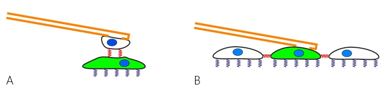 Cell-cell interactions (red springs) studied by aspiration of single cells to a hollow FluidFM™ probe (orange). A) Probing the force between a cell immobilized on the cantilever and a cell on the substrate. B) Picking a single cell from a confluent layer, probing cell-substrate (purple) and cell-cell (red) interactions.