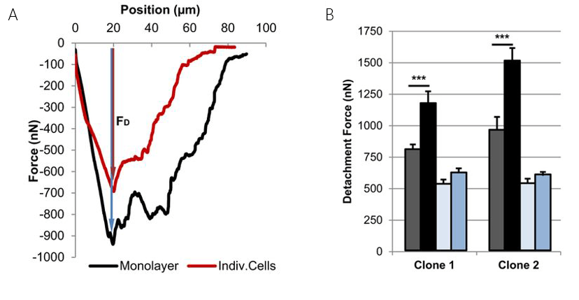 Typical single cell force spectra of individual cells or cells in a confluent layer, depicting the increase in force by cell-cell interactions. B) Effect of MSX1 on the observed cell adhesion for individual cells and cells in a monolayer. Grey and black bars: control measurements on individual cells and monolayers, resp., pale and light blue MSX1 treated individual cells and cells in a monolayer, resp. Adapted from: Sancho et al. (2017), Scientific Reports volume 7, 46152.