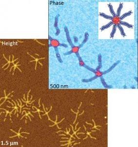 "AFM height & phase images of brush macro-molecule. Top right?: sketch of the brush macromolecule in ""spoke-wheel"" configuration."