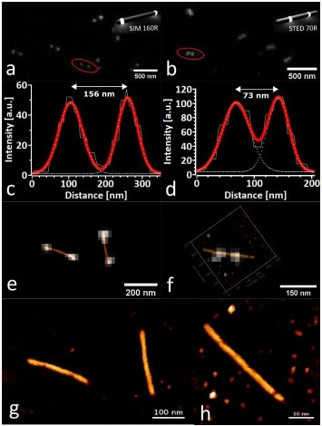 Correlative AFM of DNA Nanorulers. (a, b) are STED measurements of the corresponding SIM 160R and STED 70R nanorulers, measured in TAE-1x (Mg) buffer. Insets are sketches of GATTAquant nanorulers with different mark-to-mark distances (70–160 nm, both labeled with Atto647N), reproduced with permission from [15]. (c, d) show bi-sigmoidal Gaussian fits of the intensity signal along the signified cross-sections in (a, b). (e, f) Optical correlation of the consecutively acquired STED and AFM images of the DNA nanorulers. (g, h) QI topography channels of the AFM images used for the overlays in (e, f), showing the linearized structure of the DNA nanorulers (z-scale: 10 nm).