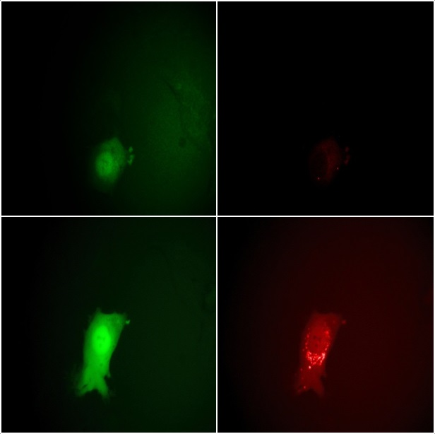 Monitoring the stages of the VACV lifecycle microscopically by eGFP and mCherry fluorescence signals. Top row: 7 hours post infection, bottom row: 11.5 hours. The intensity of the EGFP signals on the left clearly shows the entering of the early and late viral gene expression phases. The strong increase in the mCherry intensity at the right between 7 and 11.5 hours indicates the assembly of new virions.
