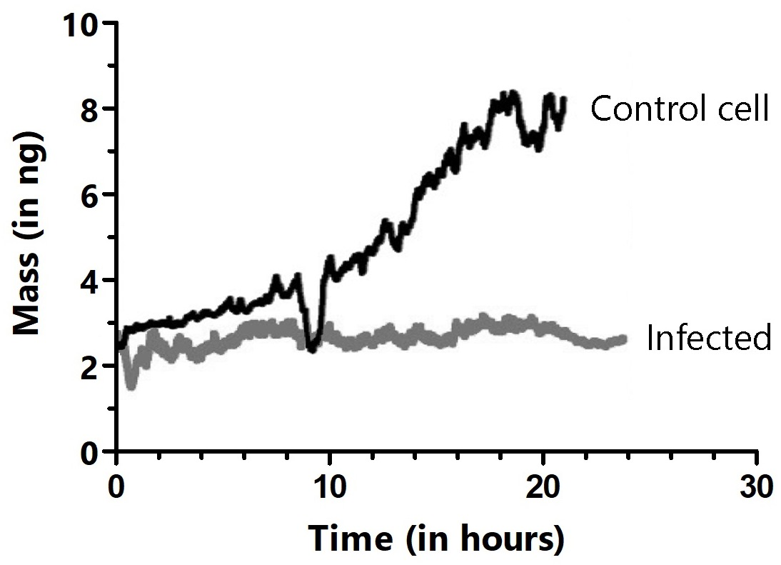 Long-term cultivation and mass monitoring of control (black trace) and virus-infected HeLa cells (gray trace). Cells were infected by bringing the cell attached to the cantilever in contact with an infected cell in the Petri dish. The dips in the black trace show where mitosis occurred, during which cells rounded up and adhered only weakly to the cantilever.