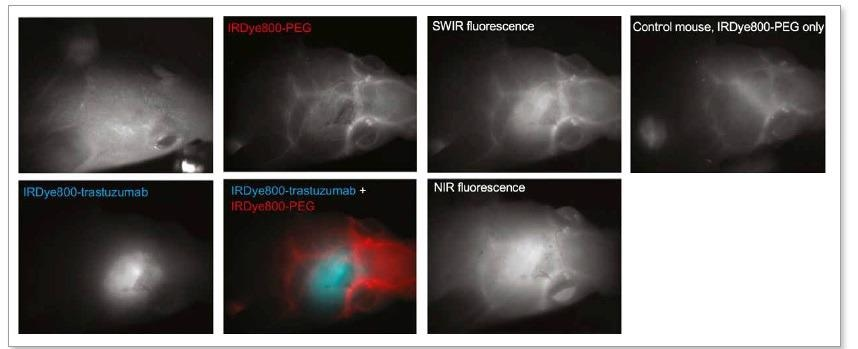 Targeted SWIR imaging in vivo with IRDye 800 CW of a nude mouse with a brain tumour from implanted human BT474 breast cancer cells.Three days after injecting IRDye 800 CW–trastuzumab conjugate, fluorescence from the labelled tumour was imaged noninvasively through skin and skull on a SWIR camera. [4]