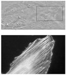 Using Atomic Force Microscopy (AFM) to Image Cells