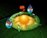 Researchers Capture Detailed Femtosecond Snapshots of Photosynthetic Water Oxidation