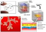 Placenta-on-a-Chip Helps Study Inner Workings of Human Placenta