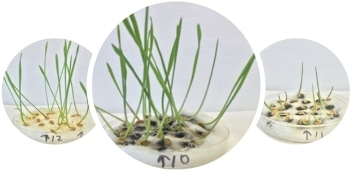 Study Finds Purified Carbon Nanotubes Dispersed in Water Promoted Plant Growth