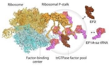 Advanced Atomic Force Microscopy Helps Observe Factor-Pooling by Ribosomes