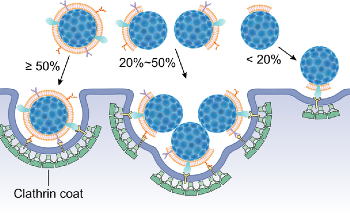 Fluorescence Quenching Assay to Probe the Integrity of Cell Membrane Coating