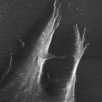 C2C12 Stem Cell Migration on Glass Surface