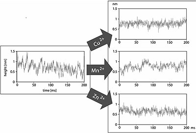 AZoNano - Online Journal of Nanotechnology - Influence of different bivalent metal ions on the height fluctuations of chitosanase. Cu2+ is able to inhibit the enzyme totally. The spikes, which were seen in the traces on active protein molecules, disappeared and the traces were similar to those taken on inactive protein in pure acetate buffer (see Fig. 2). Traces after addition of Mn2+ show also fluctuations with amplitude of about 0.4 nm, but they last longer (20-50 ms) and appear at a lower rate (20-25 s-1) as the spikes found in the traces of chitosanase with substrate, but without ions. The traces over chitosanase with Zn2+ ions in the buffer solution show also fluctuations with duration of 20-50 ms, but with an amplitude of only ≤0.3 nm. Therefore it is difficult to assess whether these fluctuations are due to an activity of the enzyme.